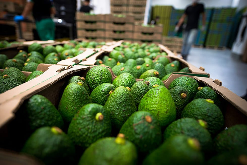 Aguacate hass colombiano Foto: ProColombia
