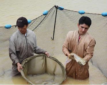 Los chinos consideran que los peces Arawana son amuletos de buena suerte, por lo que los tienen en acuarios dentro de sus casas y oficinas como símbolos de prosperidad.