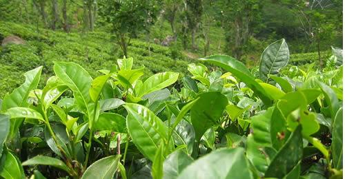 Té en hojas de Colombia se toma casas de té de Estados Unidos