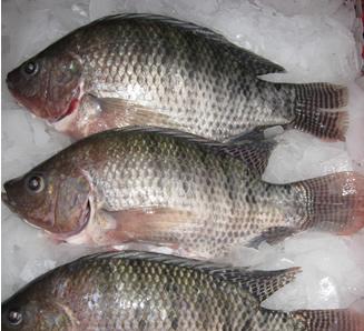 Mojarra plateada del huila se consume masiva for Criadero de pescado